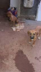Cachorras fêmeas Labrador com boxer 4 meses idade sao otimas pra vigiar e pra cacar