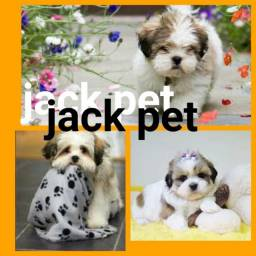 Lhasa Apso Femeas E machos no Jack Pet