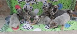Filhotes de Dog australiano com um mes