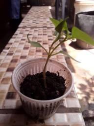 Mudinha de pimenta
