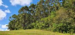 Mato eucalipto para corte
