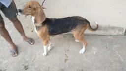 Cadela Bloodhound  pura