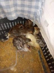 Filhote galinha angola