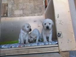 Labrador filhotes padrão CBKC * Alexandre