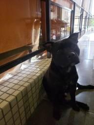 Staffordshire Bull Terrier (Staffbull)