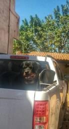 Rottweiler macho/cruza/inseminação