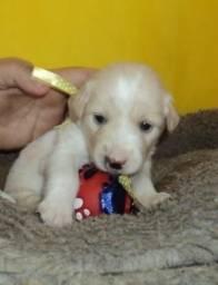 Poodle toy X maltes Mini, peludos. só 250. zap 85 9 9117-1810 caminha gratis. entrego Wha
