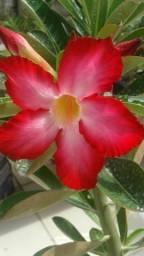 Rosa do deserto Adulta
