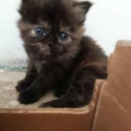 Filhotes de gato persas