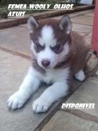 Husky Siberiano : Femeas lindas olhos azuis