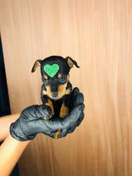 Pinscher com pedigree
