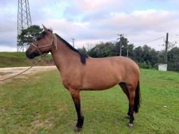 Égua Crioula Cavalo Crioulo