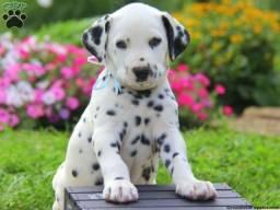 Filhotes lindos com pedigree e garantia em até 12x!!!