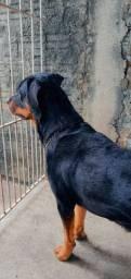 Rottweiler disponível pra cruza