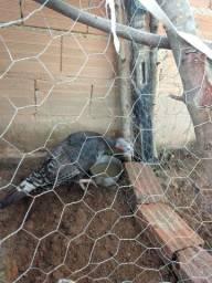 Peru fêmea e galinha