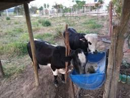 Mini vaca e mini boi