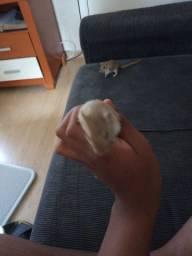 Vendo gerbil fêmea