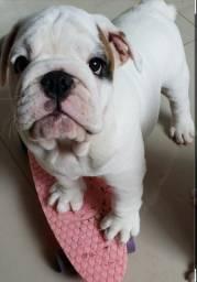 Bulldogue inglês macho