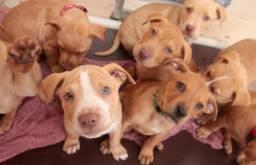 Pitbull - Dalmatas - Border Collie e Labradores a pronta entrega e em 12x!