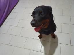 Rottweiler tem um ano e sete meses e é destrada