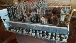 10 codorna mais gaiola negocio em galinha