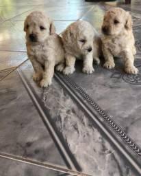 Filhotes de poodle toy com micro toy