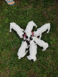 Filhotes de bulldog francês ótimo linhagem
