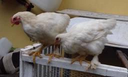 Casal frangos Brahma branco