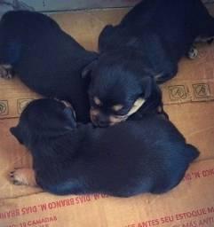 Cachorros pinscher com poodle