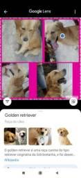 Cachorro macho goldem