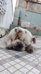 Bulldog Inglês fêmea adulta