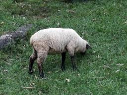 Ovelhas, cordeiros e borregas