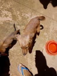 Doação cachorros