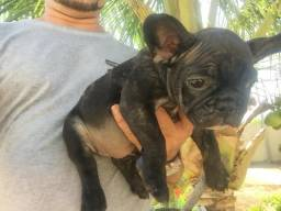 Bulldogs francês fêmea