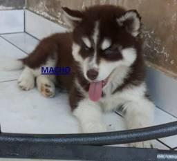 VENDA PROMOCIONAL DE Filhotes de Husky siberiano com pedigree