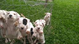 Filhotes de Dogo Argentino