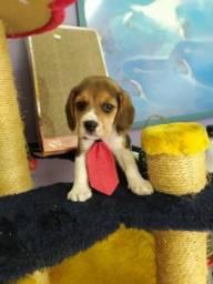 Beagle Macho em ate 6x sem juros no cartao