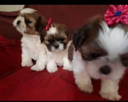 Cachorros Shitzu 600 reais