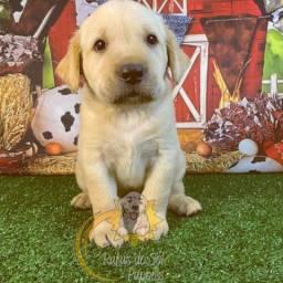 Maravilhosos Filhotes de Labradores