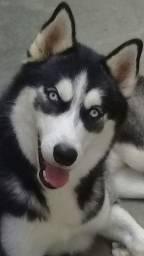 Husky siberiano procura namorada
