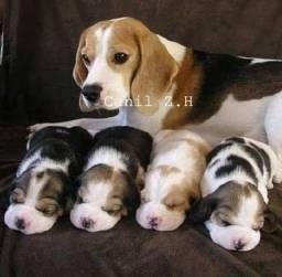 Beagle / macho e fêmea, com pedigree de qualidade