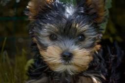 Filhotes de Yorkshire Terrier com Assistência Veterinária Inclusa!!!