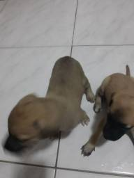 Filhotes de cachorro (Porte médio).