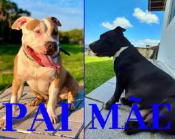 Filhotes de American Staffordshire Terrier disponíveis