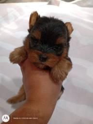 Linda bebê de york shire fêmea terrier
