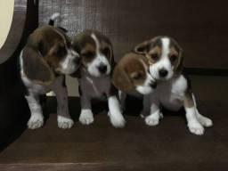 Filhotes lindos de Beagle a pronta entrega só aqui . Machos e femeas