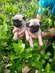 OFERTA...vendo filhotes de mini pugs machinho com pedigree