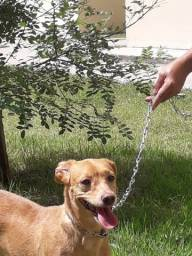 Adoção cadelinha pequeno porte
