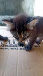 Doação Filhotes de Gato Machos