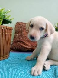 Labrador, Dálmata e beagle